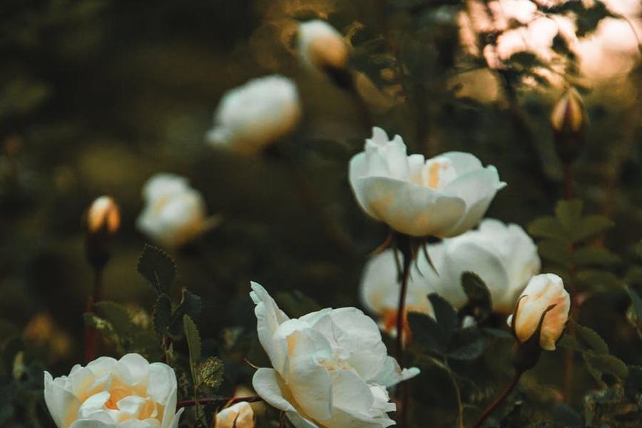 sadzonki roz na prezent
